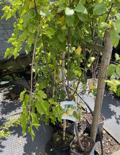 شتلات أشجار مثمرة للبيع